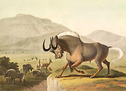 The Gnoo [Gnu or wildebeest] hand colored plate from the collection of  ' African scenery and animals ' by Daniell, Samuel, 1775-1811 and Daniell, William, 1769-1837 published 1804