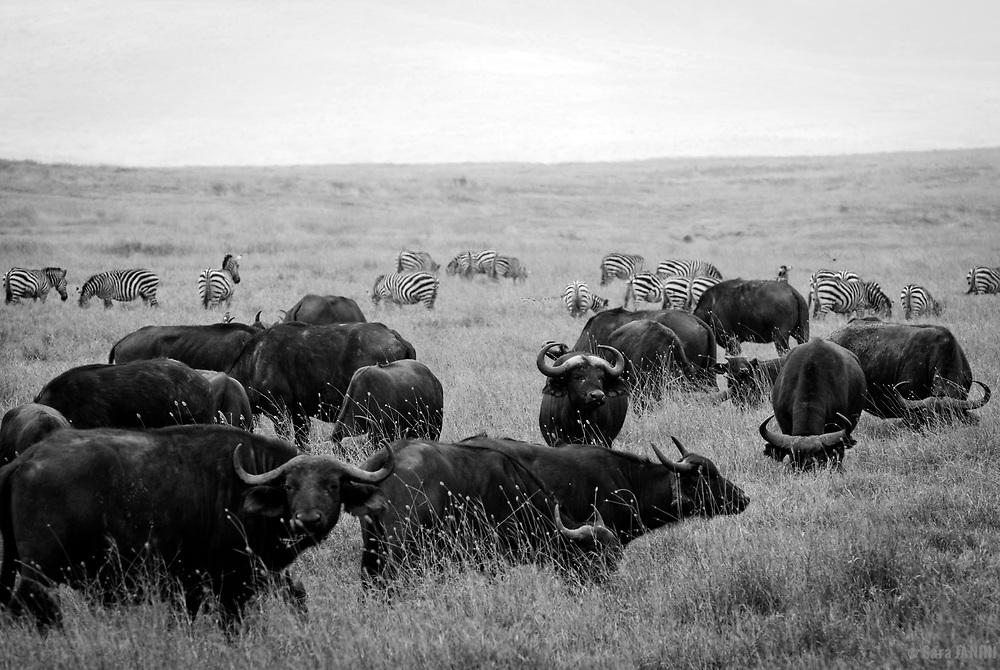 Herd of buffalos (Cape Buffalo Syncerus caffer) and zebras (Equus zebra), Ngorongoro Crater, Ngorongoro Conservation Area, Tanzania, East Africa