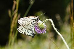 Groot geaderd witje, Aporia crataegi