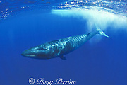 sei whale, calf, Balaenoptera borealis, Azores Islands, Portugal ( North Atlantic )