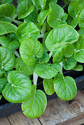 Young Pak Choi seedlings growing in a tray