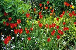Tulipa sprengeri at Great Dixter