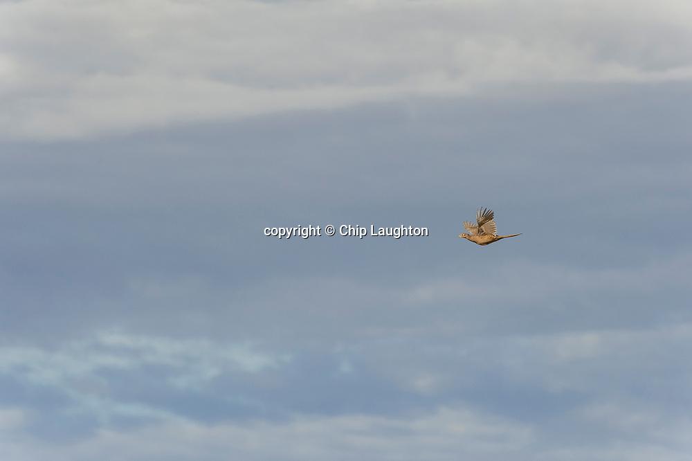 upland, pheasant, hunting, stock, photo, image, photography
