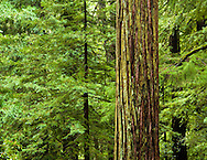 Redwood tree at Big Basin National Park, California