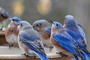 Eastern bluebirds at a birdbath.