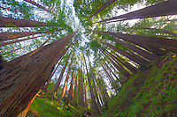 Wide Angle Looking up from a Coastal Redwood Forest. Image taken with a Nikon D3x and 14-24 mm f/2.8 lens (ISO 100, 14 mm, f/16, 2.5 sec). Raw image converted using Adobe Camera Raw 6.2 (landscape and used lens correction). HDR of 5 images (+2, +1, 0, -1, -2 EV) using Photoshop CS5 HDR Pro (saturated).
