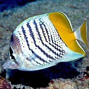 Atoll Butterflyfish inhabit reefs. Picture taken Fiji.
