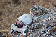 Qinghai & Sichuan - Snow leopard, deer & yak