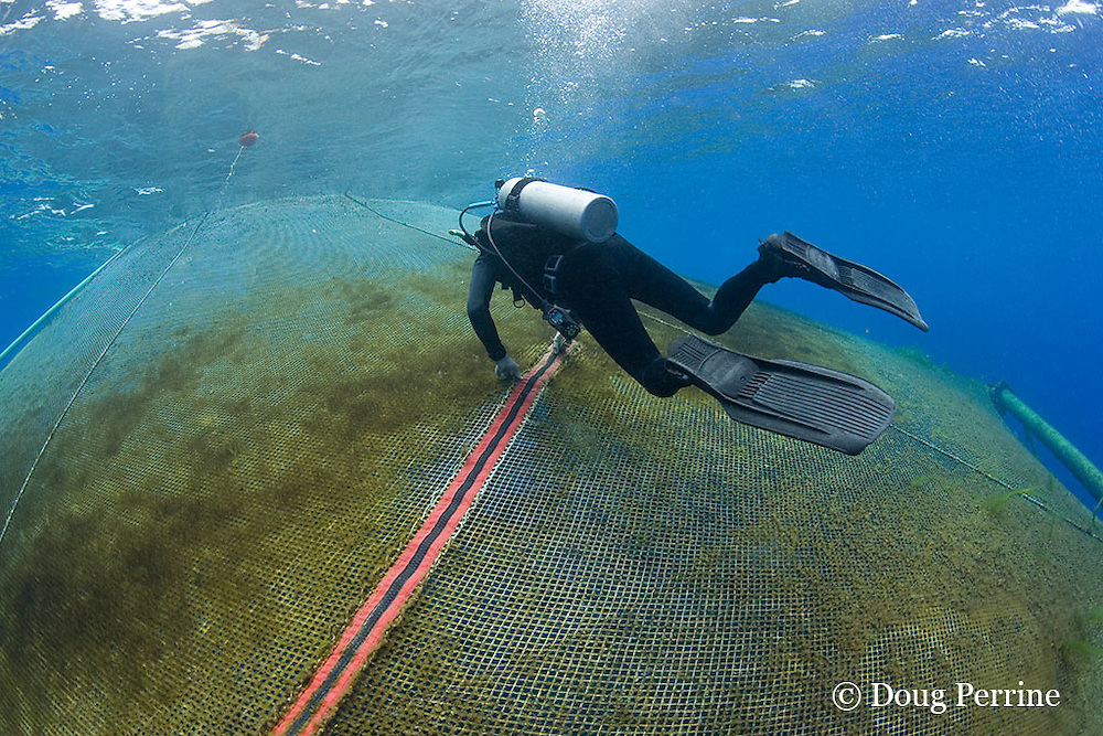 Kona Blue Water Farms co-owner Neil Sims zips up opening to underwater net cage used for open ocean fish pen aquaculture raising Kona kampachi, Seriola rivoliana, also known as Hawaiian yellowtail, kahala, or almaco jack,<br /> Kona Coast, Hawaii Island ( the Big Island ), Hawaiian Islands, USA ( Central Pacific Ocean )