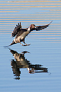 Northern Pintail Duck drake landing with full reflection.(Anas acuta).Bolsa Chica Wetlands,California