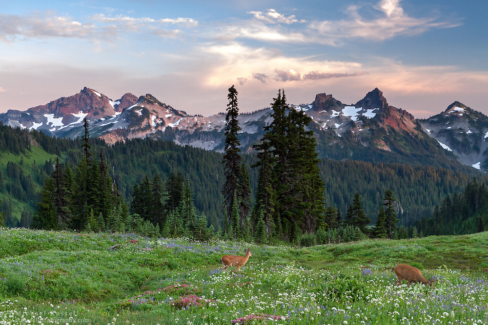 A pair of Black-tailed Deer (Odocileus hemionus columbianus) foraging in the meadows near Paradise at Mount Rainier National Park, Washington State, USA