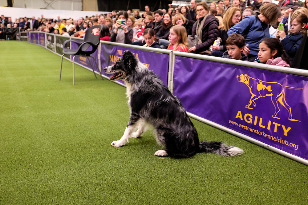 New York, NY - 8 February 2014. A dog awaits his signal to start the agility trials at the Westminster Kennel Club dog show. Handlers direct the dogs through the course.