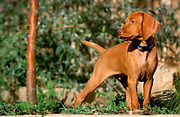 SHOT 11/9/04 4:38:08 PM - Tanner as a puppy playing in our backyard. The Vizsla is a dog breed originating in Hungary, which belongs under the FCI group 7. The Hungarian or Magyar Vizsla are sporting dogs and loyal companions, in addition to being the smallest of the all-round pointer-retriever breeds. (Photo by Marc Piscotty / © 2004)