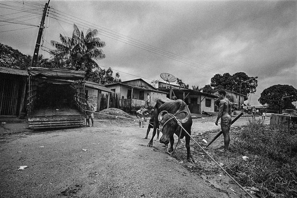 Brazil, oiapoque, amapa.<br /> <br /> Transport de bœufs. Grignotee par la culture du soja et les elevages bovins, l'amazonie bresilienne aurait perdu 16,3% de sa superficie forestiere depuis les années 1970.