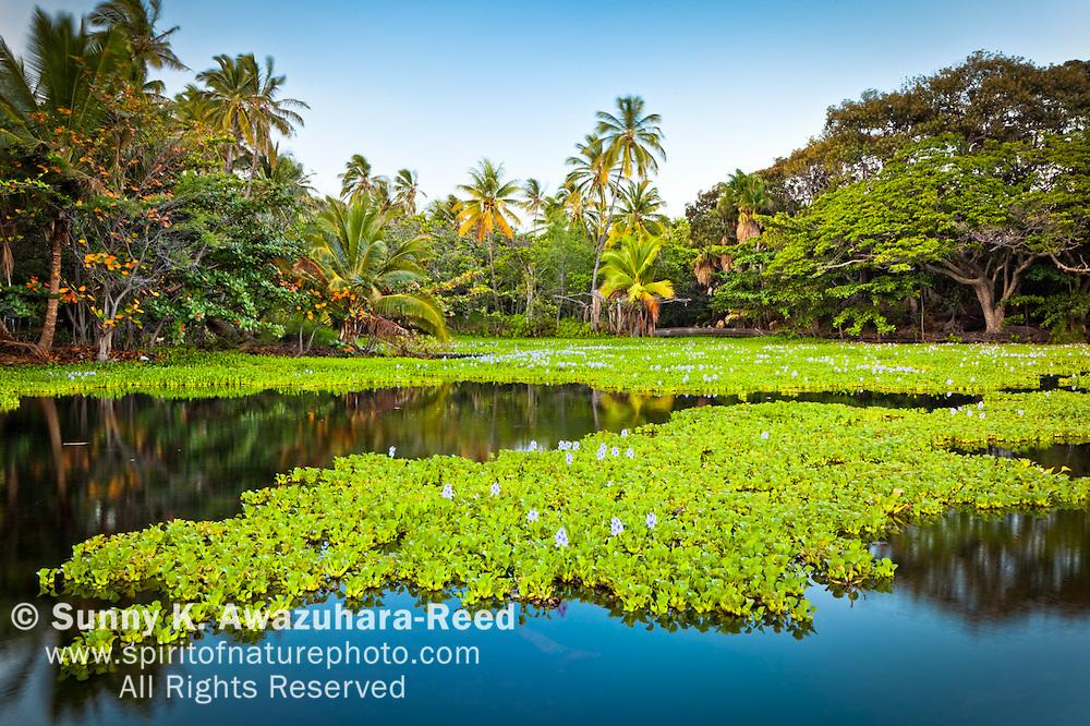Fresh water lake with Water Hyacinth plants behind the beach in a peacful setting. Punaluu Black Sand Beach, Big Island, Hawaii.