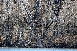 Canadian Goose (Branta canadensis)