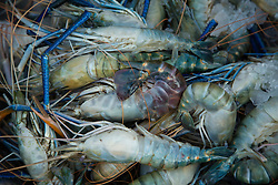 Asia, Myanmar, Yangon, large prawns (in shell)
