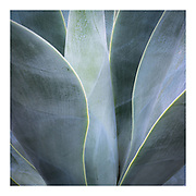 close up abstract of Agave plant showing green and purple hues of leaves, Kew gardens, London