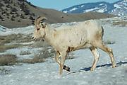 Rocky Mountain Bighorn Sheep, Ovis canadensis canadensis, near Jackson Hole, Wyoming, USA