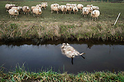 Nederland, Bemmel, 7-1-2019 In het buitengebied tussen Bemmel en Huissen is een schaap van een kudde, schaapskudde, in een sloot terechtgekomen en verdronken. Dit ondanks het schrikdraad wat om het graasveldje was gespannen . Mogelijk is het dier door vuurwerk met nieuwjaar in paniek geraakt. De kudde graasde wat verderop, maar kwam op mij toelopen toen ik in de buurt kwam. Ze bleven staan zolang ik er stond en leken zich bewust van het drama.Foto: Flip Franssen