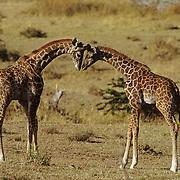 Giraffe (Giraffa camelopardalis) pair of young playing. Masai Mara National Reserve, Kenya, Africa
