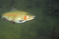 Steelhead Trout, Big Two Hearted River, Luce County, MI<br /> <br /> Roger Peterson/ENGBRETSON UNDERWATER PHOTO