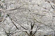 65021-02514 Flowering Crabapple trees in spring, Missouri Botanical Garden, St Louis  MO
