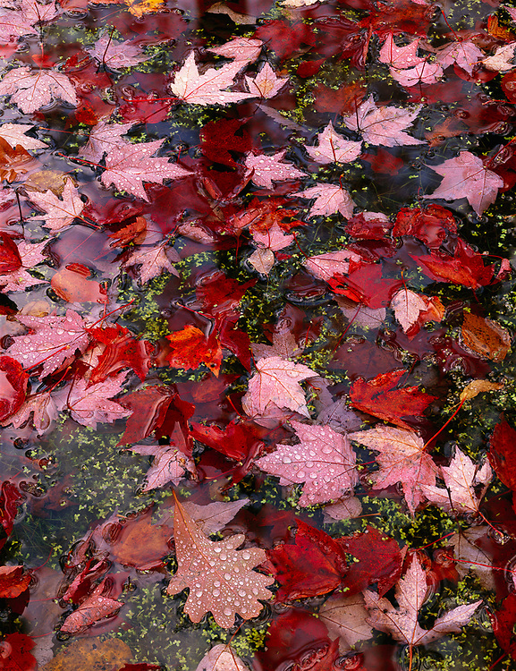Autumn leaves pattern, October, Jordan River Valley, Mackinaw State Forest, Antrim County, Michigan, USA