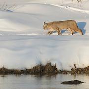 A bobcat (Lynx rufus) roaming alongside the Madison River, Yellowstone National Park.