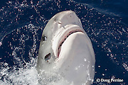 tiger shark, Galeocerdo cuvier, lunging for bait, with parasite ( parasitic leech ) attached to right side of head, and eye partially occluded by nictitating membrane, North Shore, Oahu, Hawaii, USA ( Central Pacific Ocean )