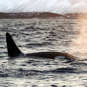 Mature male killer whale (Orcinus orca) swimming in the low light of winter in northern Norway