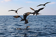 seabirds ( magnificent frigate birds and pink-footed shearwater ), gather around an olive ridley turtle floating at the surface and pick off the baitfish that are hiding under the sea turtle, offshore from southern Costa Rica, Central America ( Eastern Pacific Ocean )