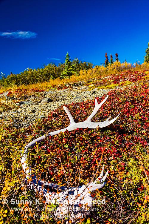 Caribou antler lies on fall color tundra. Denali National Park & Preserve, Alaska, Autumn. Vertical image.
