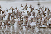 A large flock of shorebirds, including Dunlin and Western Sandpipers, fly over the Bowerman Basin mud flats, located in the Grays Harbor National Wildlife Refuge in Washington state. A long exposure shows the motion of the birds. More than 30,000 shorebirds pass through the refuge each spring on their way to breeding grounds in the far North.
