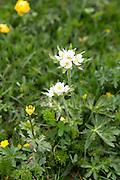 Alpine wildflowers below the Swiss Alps, Switzerland
