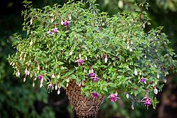 Fuchsia 'La Campanella' in a hanging basket
