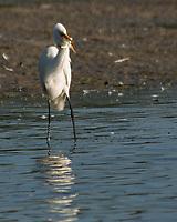 Great Egret (Ardea alba). Fort De Soto Park. Pinellas County, Florida. Image taken with a Nikon D2xs camera and 80-400 mm VR lens.