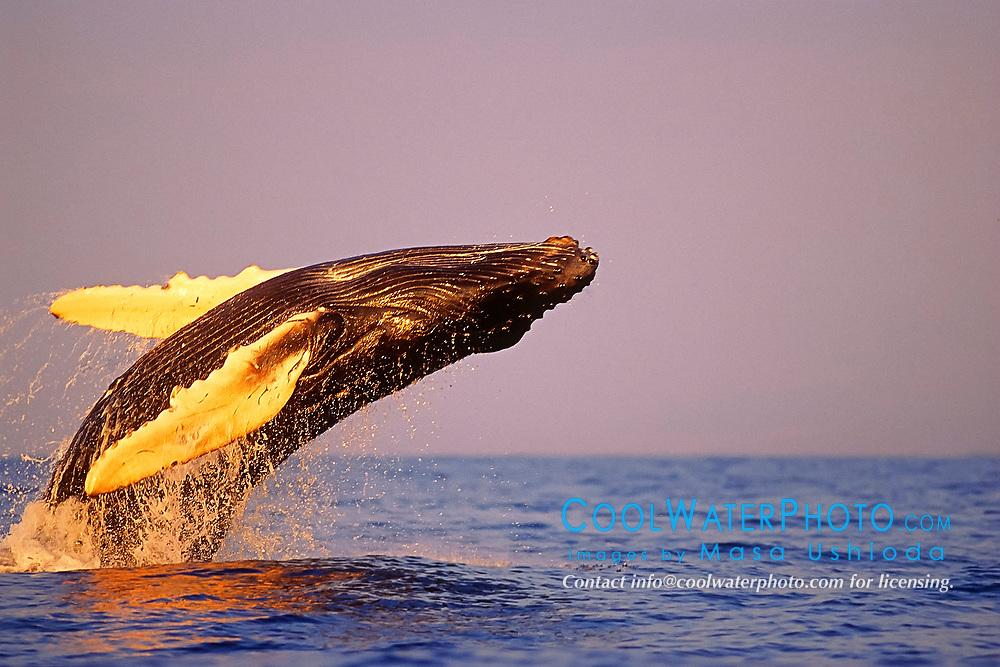 humpback whale, calf breaching at sunset, Megaptera novaeangliae, note open eye, Hawaii, Pacific Ocean