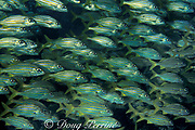 smallmouth grunts, Haemulon chrysargyreum, Tavernier, Key Largo Florida ( Western Atlantic Ocean ) Florida Keys National Marine Sanctuary