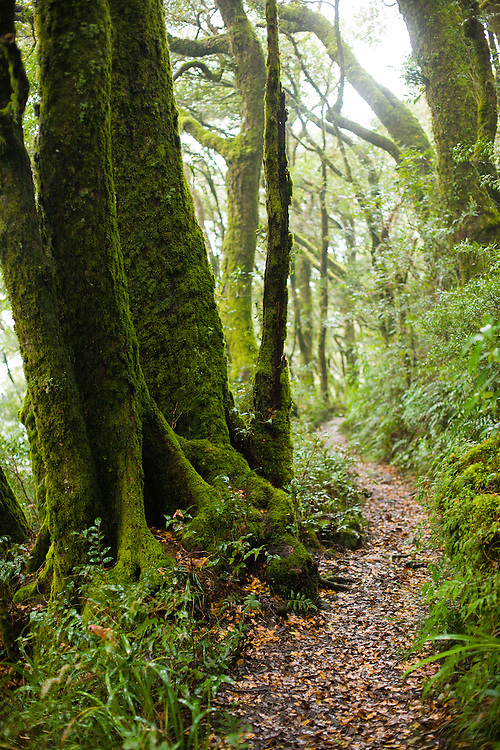 The Border Track in Lamington National Park winds through the mysterious and grand forests of Antarctic Beech.