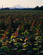 Ornamental maples growing in fertile volcanic with volcanic cone of 11,234-foot Mount Hood beyond, Sandy, Oregon.