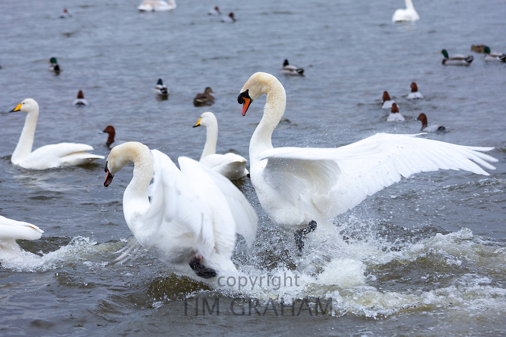 Ruffled feathers - Mute Swans, Cygnus olor, arguing and flapping wings to fight for territory at Welney, Norfolk, UK