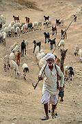 Rabari tribesman herding his goats, sheep and camels