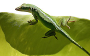 Green lizard on a leaf