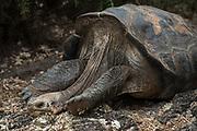 Galapagos Giant Tortoise (Geochelone Sp.)<br /> CDRS Station<br /> Puerto Ayora<br /> Santa Cruz Island <br /> Galapagos<br /> Ecuador,  South America