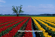 67221-00704 Lone tree and red & yellow tulips in field  Skagit Valley  WA