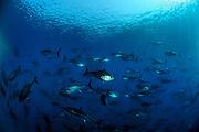 [captive] Atlantic Bluefin Tuna (Thunnus thynnus)