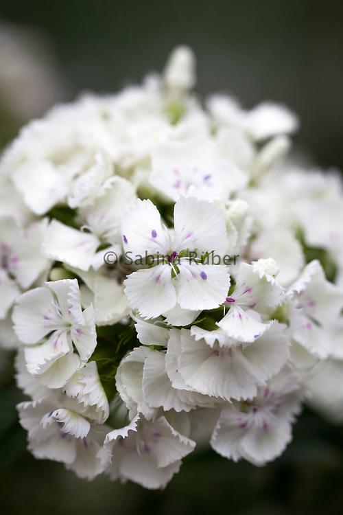 Dianthus barbatus 'Albus' - sweet william