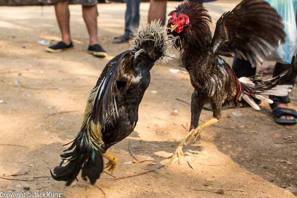 06 APRIL 2013 - SANPATONG, CHIANG MAI, THAILAND:    Fighting cocks are put through their paces in the bird market in the market in Sanpatong, Chiang Mai province, Thailand. The birds were not fighting, their fighting skills were being demonstrated for prospective customers. The buffalo market in Sanpatong (also spelled San Patong) started as a weekly gathering of farmers and traders buying and selling water buffalo, the iconic beast of burden in Southeast Asia, more than 60 years ago and has grown into one of the largest weekend markets in northern Thailand. Buffalo and cattle are still a main focus of the market, but traders also buy and sell fighting cocks, food, clothes, home brew and patent medicines.           PHOTO BY JACK KURTZ
