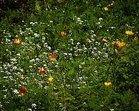 Sweet Alyssum, California Poppy. Image taken with a Nikon 1 V3 camera and 70-300 mm VR lens.